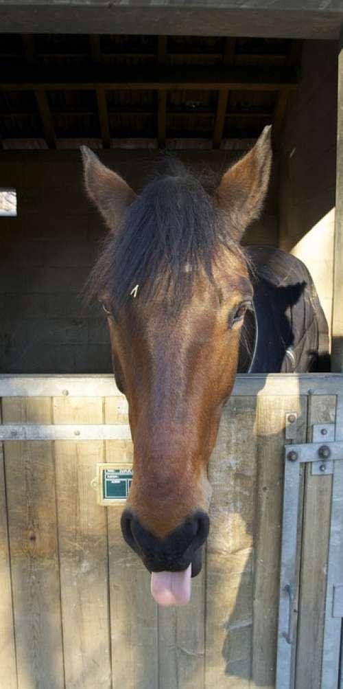 Horse Head Stall Mane Equine Portrait Standing