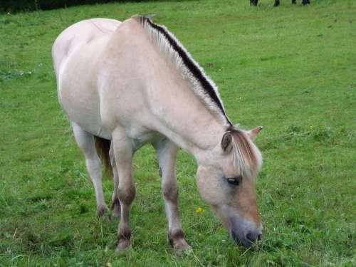 Horse Pasture Prato Norway