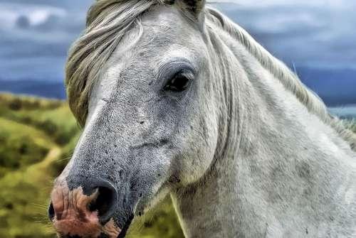 Horse Head Animal Portrait Countryside Head Mane