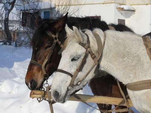 Horses Winter Animal Road Cart Head Domestic