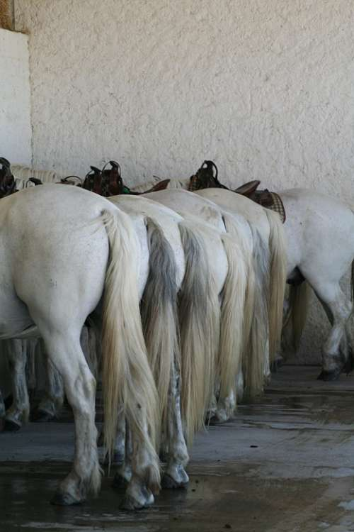 Horses France Camargue