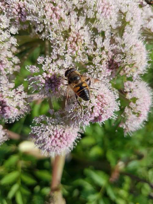 Hoverfly Mist Bee Flight Insect Insect Syrphidae