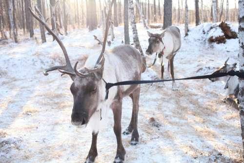 Hulunbeir Reindeer Winter Sunshine