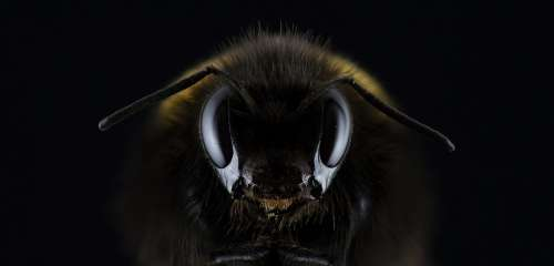 Hummel Bombus Eye Insect Bee Honey Bee Beekeeping