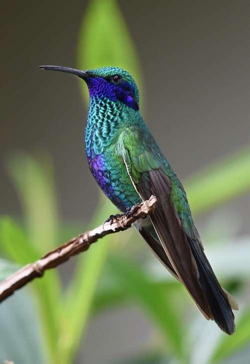 Hummingbird Bird Nature Tropical Wings