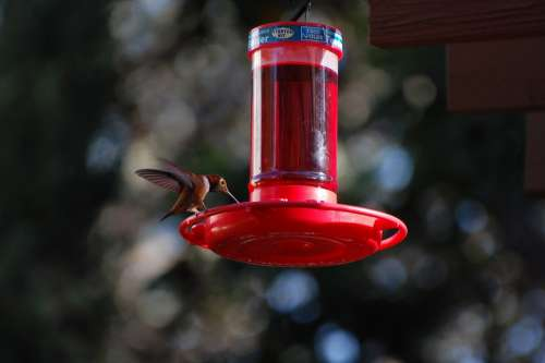 Hummingbird Nectar Nature Wing Hover Wildlife
