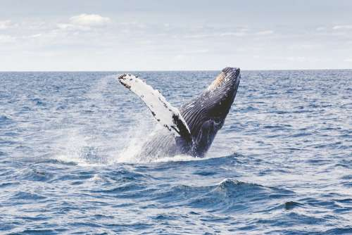 Humpback Whale Whale Marine Mammal Animal Sea