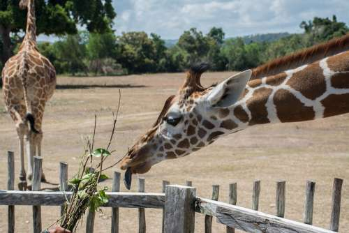 Hungry Giraffe Safari Feeding Time Philippines