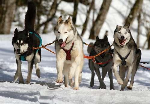 Huskies Husky Dogs Race Sled Dog Racing