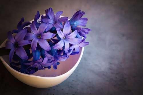 Hyacinth Flower Blue Violet Flowers Close Up