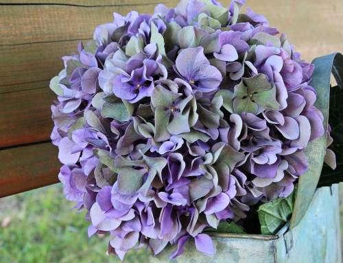 Hydrangea Flower Blossom Bloom Summer Blue Purple