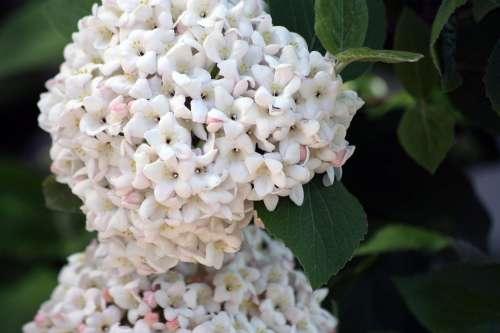 Hydrangea Flower Flowers White Green Plant Garden