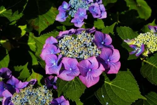 Hydrangeas Flowers Purple Garden Summer Nature