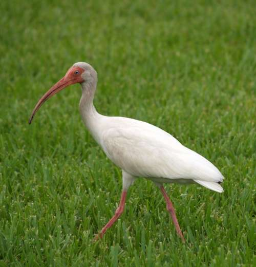 Ibis Tropical Wading Bird Florida Beak White