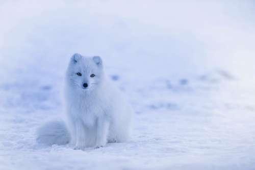 Iceland Arctic Fox Fox Animal Wildlife Winter