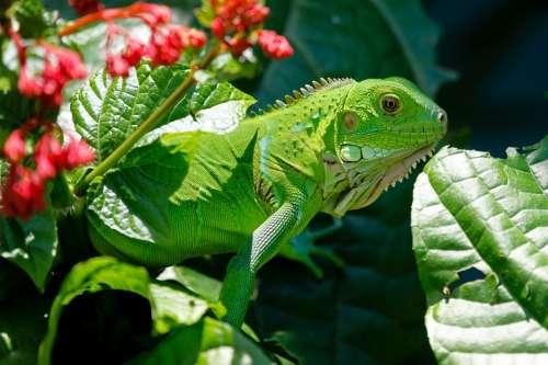Iguana Reptile Animals Lizard Green Nature