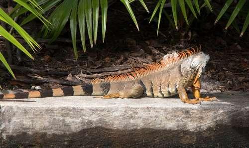 Iguana Spiny Tailed Reptile Lizard Wild Wildlife