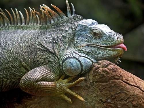 Iguana Lizard Animal Brazil Jungle Wildlife