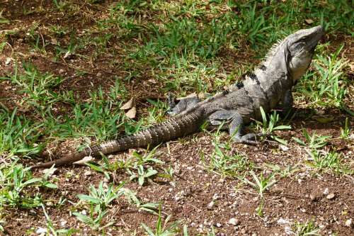 Iguana Reptile Lizard Animal Insect Eater
