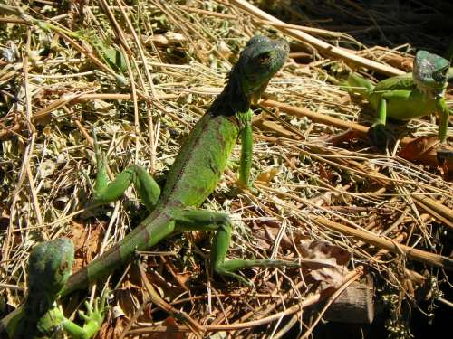 Iguana Nature Reptile Green Animal