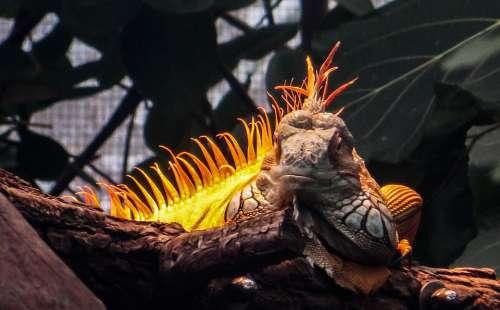 Iguana Reptile Lizard Dragon Scale