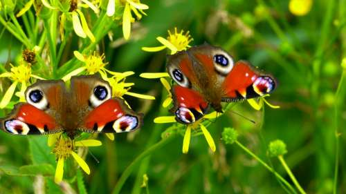 Inachis Io Butterfly Butterfly Peacock Nature
