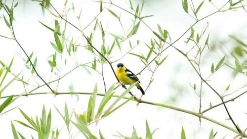 Indian Bird Iora Male Avian Nature Wildlife
