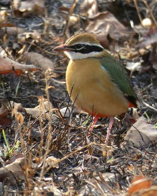 Indian Pitta Pitta Bird Bandipur Wildlife Wild