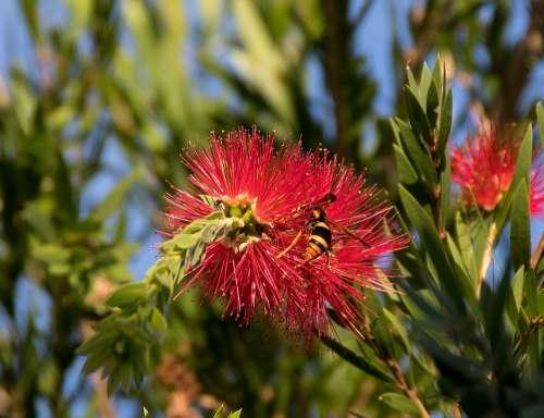 Insect Hornet Abispa Ephippian Striped Australian