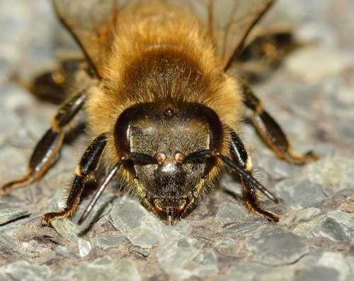 Insects Bee Apis Mellifera Hymenoptera