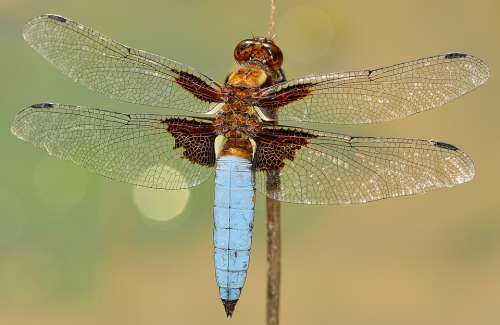 Insects Dragonfly Depressa Macro Wings Chitin