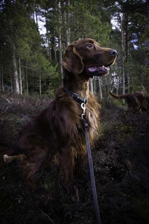 Irish Setter Dog Animals Fur Red Green Forest