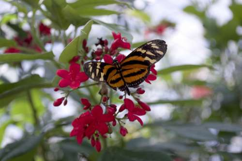 Isabella'S Eueides Butterfly Orange Eueides