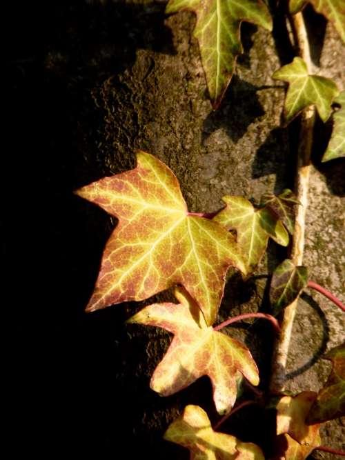 Ivy Climber Plant Tree Entwine Ivy Leaf Leaf