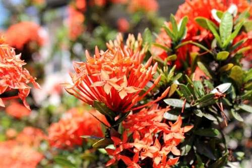 Ixora Red Ixora Flower Flower Garden Garden