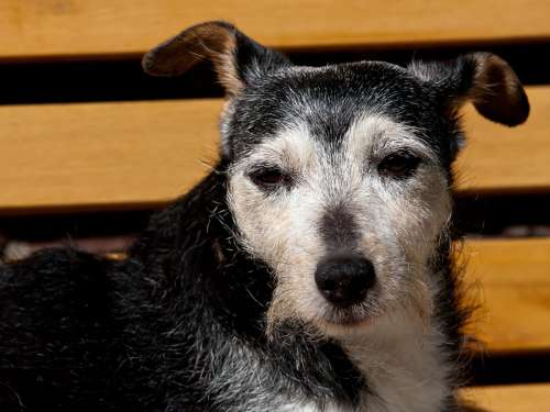 Jack Russel Dog Animal Snappy Quadruped Cat Sweet