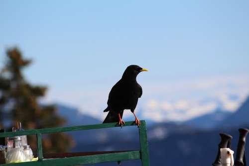 Jackdaw Bird Black Pinnate Railing Mountains