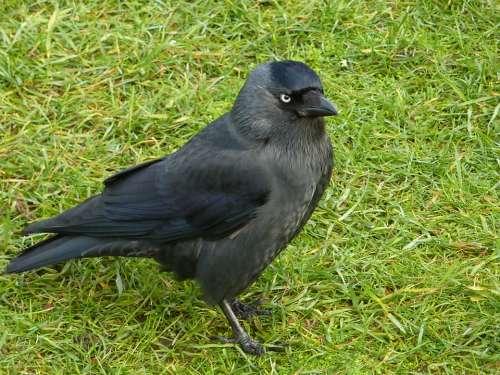 Jackdaw Bird Black Wild Grass