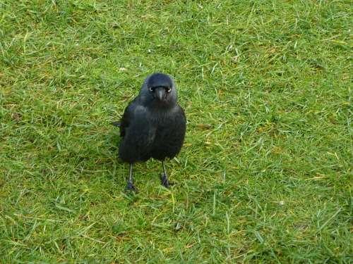 Jackdaw Wild Bird Black Nature Grass