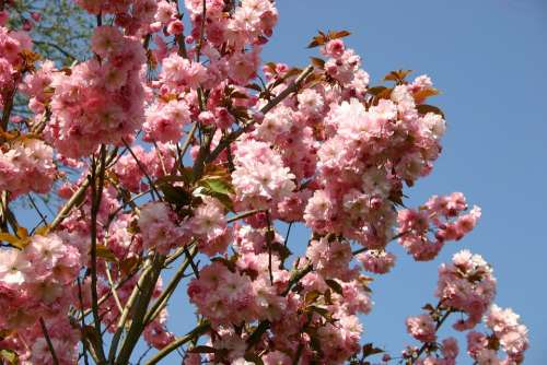 Japanese Cherry Blossom Garden Ornamental Cherry