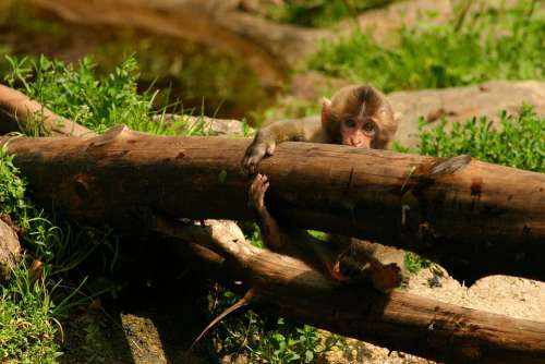 Japanmakake Baby Monkey Makake Monkey Baby Animal