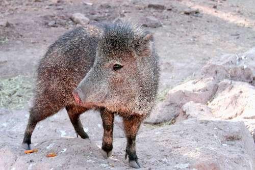 Javelina Arizona Pig Wild Nature Animal Mammal