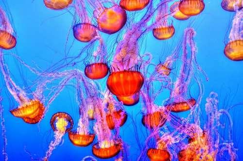 Jellyfish Colorful Sea Ocean Water Underwater
