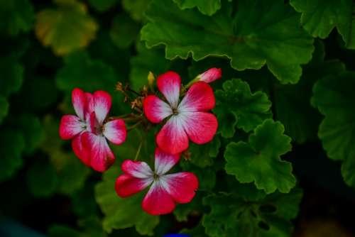 Jeranio Red Flower Beautiful Nature