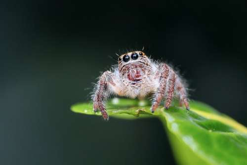 Jumping Spider Spider Insect Macro Animal Outdoor