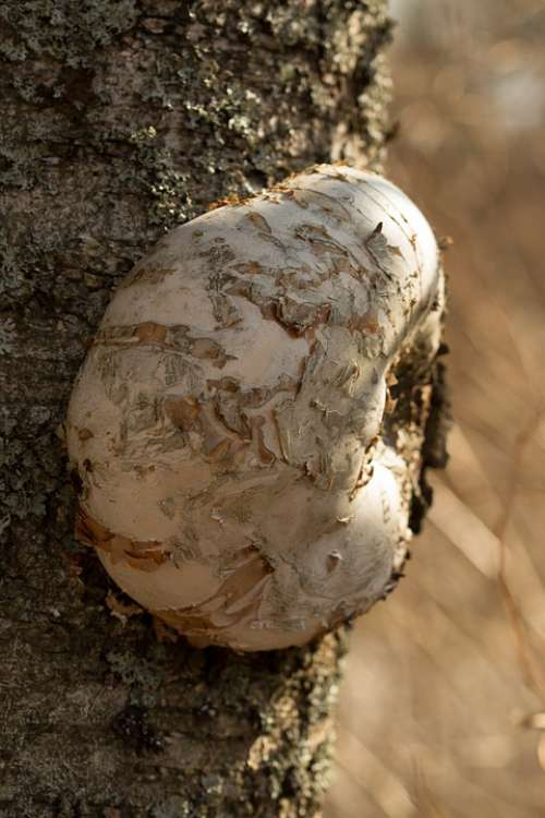 Kääpä Mushroom Birch