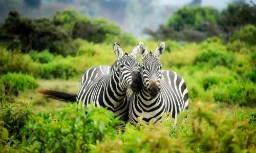 Kenya Africa Zebras Wildlife Animals Cute Nature