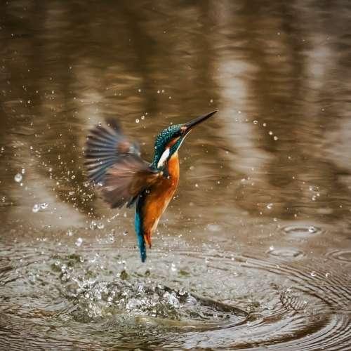 Kingfisher Bird Alcedo Atthis Winged Animal