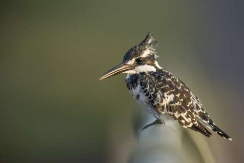 Kingfisher Pied Pied Kingfisher Bird Wildlife