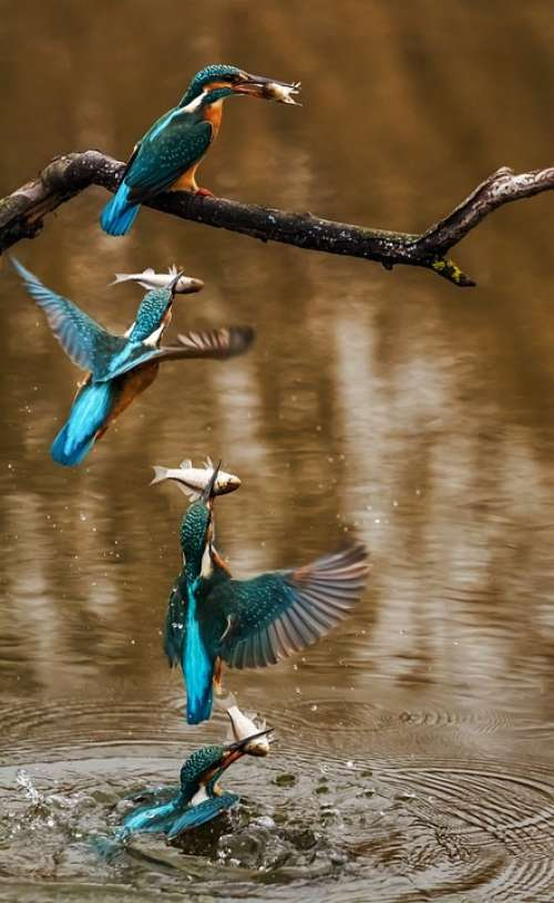 Kingfisher Bird Alcedo Atthis Winged Animal